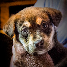 New puppy by Paul Drajem - Animals - Dogs Portraits ( pat, puppy, dogs, domestic animal, animal,  )
