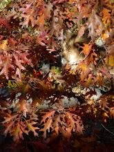 "Photo: ""Autumn Lion"".... Como Zoo - Cicely Robin Laing © 2010"