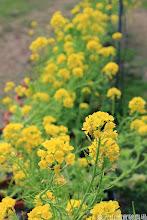 Photo: 拍攝地點: 梅峰-一平臺 拍攝植物: 油菜花 拍攝日期: 2014_02_18_FY