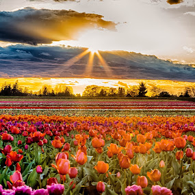 Tulip sunset by Debbie Slocum Lockwood - Flowers Flower Gardens (  )