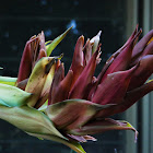 Giant Spear Lily
