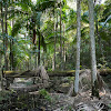 Piccabeen Palms (groves)