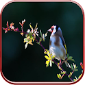 Goldfinch Live Wallpaper Free icon