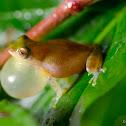 Variable bush frog