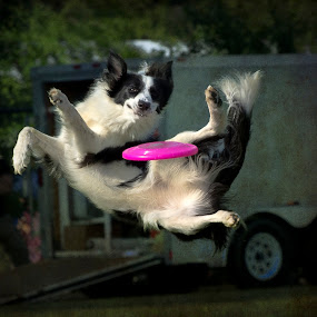 Frisbee Dog by Mark Turnau - Sports & Fitness Other Sports (  )