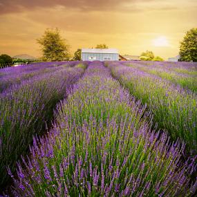 Lavender Farms NZ by Anupam Hatui - Landscapes Prairies, Meadows & Fields ( field, farm, purple, color, lavender, lavenders, new zealand,  )