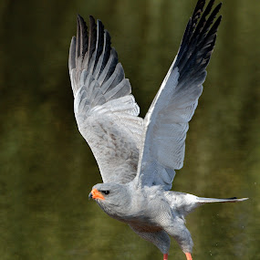 Chantung Goshawk by Jan Jacobs - Animals Birds ( chobe, flight, bird of pray )