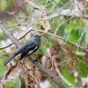 Copsychus saularis 鵲鴝