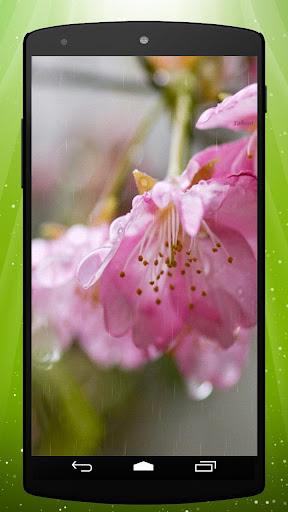 Rain Blossom Live Wallpaper