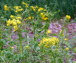 Photo: Senecio glabellatus -- golden ragwort. Another common wet ditch/lake margin plant. An on-site native.