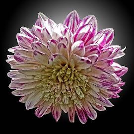 KH dahlia 02 RD by Michael Moore - Flowers Single Flower