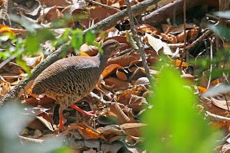 Photo: Pale-browed Tinamou