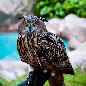 Owl by Lye Danny - Animals Birds