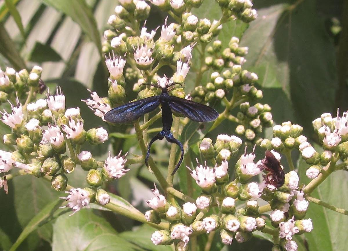 Narrow-Winged Zygaenidae