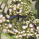 Narrow-Winged Zygaenidae