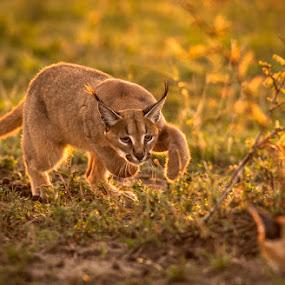 Caracal by Ken Dyball - Animals Other ( caracal playing pounce masai mara kenya golden light )