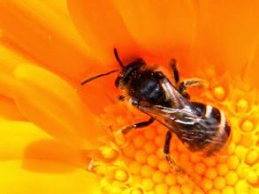 Photo: Petite abeille andrène sp. - 5 mm - sur souci.