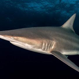 Blacktip reef shark by Peter Schoeman - Animals Fish ( shark, diving, blacktip, ocean, predator )
