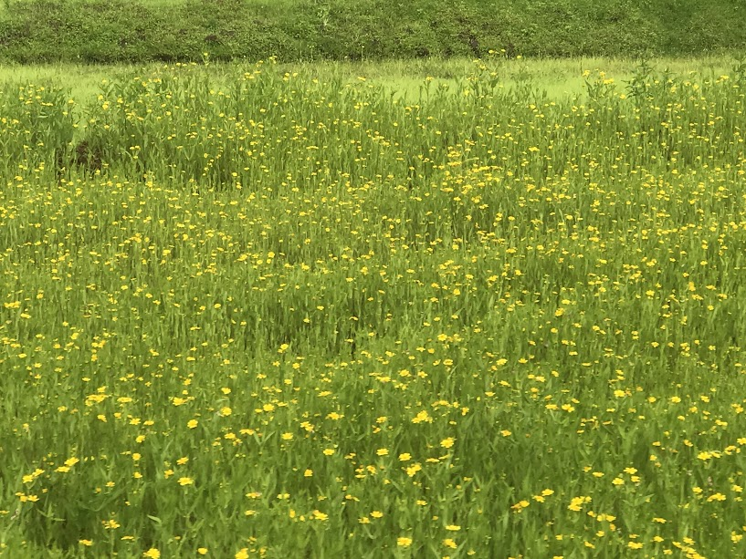 Flowering at its best - सोनकी