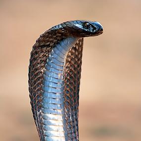 Black Pakistan Cobra. by Taariq Haneef - Animals Reptiles ( makli, pakistan, snake, venom, scales, fang, thatta, sindh, reptile, black, cobra )