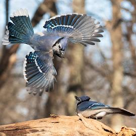 Blue Jays Fighting 3034 by Carl Albro - Animals Birds ( flight, bird in flight, blue jay, bird, flying, songbird, fighting, birds, wildlife )