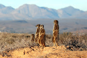 Spend a morning observing a family of meerkats with 5 Shy Meerkats.
