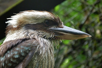 Photo: Lachender Hans (Dacelo gigas) 3 Nationalvogel Australiens