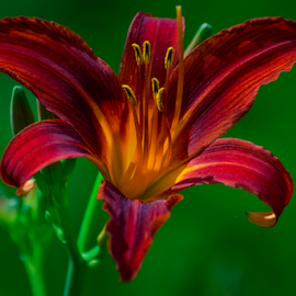 Lily by Garces & Garces - Flowers Single Flower ( lily, vibrant, flower )