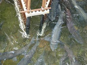 Photo: Salmon in Pullen Creek, Skagway Alaska
