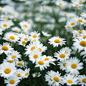 Camomile Wallpapers icon