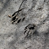 Northern Raccoon (Tracks)