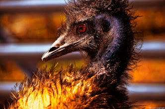 "Photo: the living link (originally posted on Oct 12 2011, I kinda missed this photo, so here it is again)  Okay, this guy gives new meaning to the word ""mohawk."" And no, this is not a velociraptor; it's an emu. The emu is a very close relative of the ostrich and comes from Australia rather than Africa.  We all know the proverbial stereotype about ostriches, right? Ostriches like to hide their heads in the sand. People think of them as big, hulking birds that have lost their ability to fly— lost the ability to do what they were created to do. Like the human appendix, their wings appear at first glance to be vestiges of another evolutionary era.  Utterly without grace, ostriches have become a symbol of cowardice and even silliness.  But ostriches just so happen to be the fastest thing on two legs. They can actually run at speeds of 45 mph for longer than 30 minutes. A single kick from this ""bird"" can kill a lion or a leopard. And in terms of sheer size, they can get over 9 feet tall and weigh over 345 pounds. In fact, they are strong enough for a human being to ride them.  I actually have a friend who's ridden one.  According to experts, though the ostrich and emu developed on separate continents, they are so similar because they were built for speed and extreme specialization tends to make animals look the same. In fact, according to biologists, ostriches and emus are not only the fastest thing on two legs, but are ""better"" runners in terms of combined speed, power and endurance than most four-legged runners. They are more than twice as fast as a roadrunner. The emu actually devotes almost one third of its body mass to leg extensor muscles. And the large wings, which many think are pointless, are actually what enable the ostrich to take sharp turns as well as stop at extreme speeds.  All of these talents aside, I learned of another emu trait when I tried to take this shot. As I moved my head and camera one direction, the emu moved its head in the exact same direction. I watched in shock when the emu continued to imitate my exact movement. As we played this imitation game, I couldn't help but come to the startling realization that I was interacting not only with a friendly creature, but an intelligent one.  So what can you learn from an emu? Well it's pretty simple. Some people might call you a flightless bird, but if you're smart you'll realize that you weren't meant to fly at all. You were built for speed."