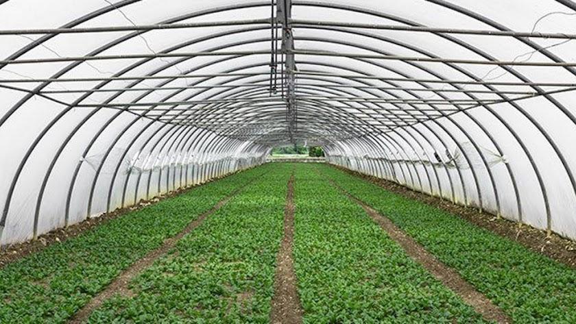 Una plantación de cáñamo autorizado bajo invernadero.
