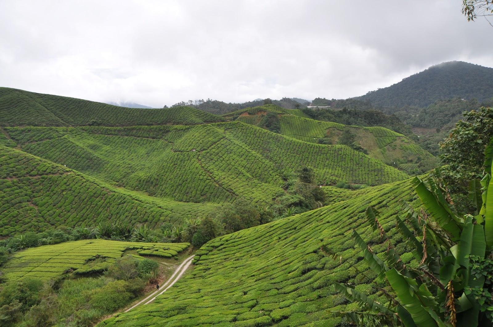 cameron-highlands-tea-plantation-cloudy-malaysia