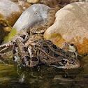 Culebra viperina (Viperine snake)