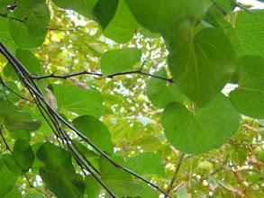 Photo: Hojas y frutos del árbol del amor (Cercis siliquastrum)