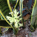 Snake Plant Variety