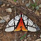 Milky Tiger Moth