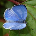 Hedge Blue Butterfly