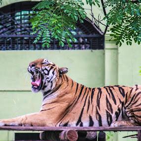 *Yawn* by Aditi Dinakar - Animals Lions, Tigers & Big Cats