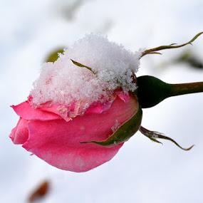 Pod snjegom by Jelena Puškarić - Nature Up Close Flowers - 2011-2013 (  )