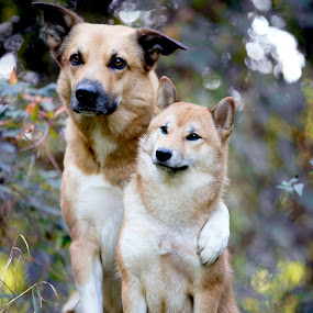 true friendship by Magdalena Sikora - Animals - Dogs Portraits ( dogs, shiba, friendship, dog portrait )