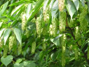 Photo: クマシデ(カバノキ科)の若い果穂。 2007.06.07 岩伏山にて。
