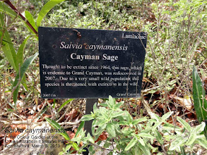 Photo: Cayman Sage - Salvia caymanensis, Family: LAMIACEAE/LABIATAE, a small, slender, stiffly erect shrub to 1m tall, Critically Endangered Grand Cayman endemic. http://caymannature.blogspot.com/p/blog-page_12.html FLORA of the CAYMAN ISLANDS by George R. Proctor 2012 p.590, Fig. 219, Plate 57. Photo: P. Ann van B. Stafford, Grand Cayman, Mar. 2, 2013.