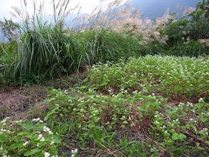 Photo: 2011年11月24日,蕎麥順利成長 田地北方的芒草幫忙擋風。東北季風盛行的區域,北方的草木是非常珍貴的,不要隨便砍掉他們。