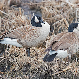 Canada Geese by Bill Diller - Animals Birds ( water birds, geese, marsh birds, michigan, nature, wildlife area, canada geese, state wildlife area, fish point wildlife area, birds, marsh, wildlife )