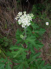 Photo: Cow parsnip