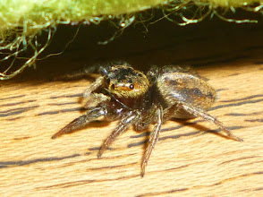 Photo: adorable jumping spider