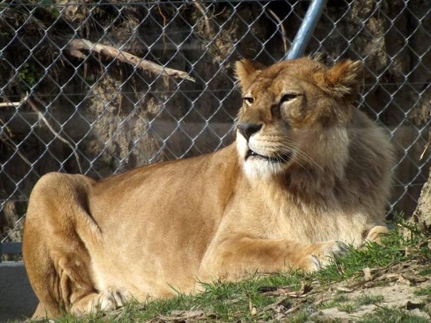 Vieille lionne de l'Atlas avec un début de crinière, Les Sables d'Olonne - Tous droits réservés
