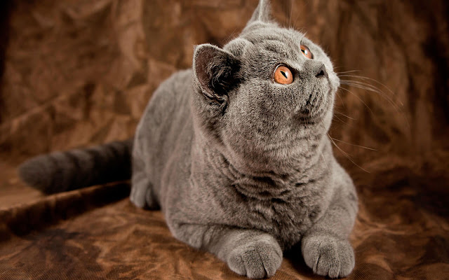 American Shorthair - New Tab in HD